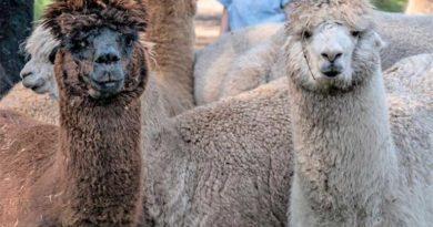 Alpaka-Touren im malerischen Bliesgau. (Foto: Kevin Ehm)
