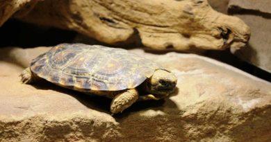 Spaltenschildkröten als neue Bewohner im Neunkircher Zoo. (Foto: Andres, Neunkircher Zoo)