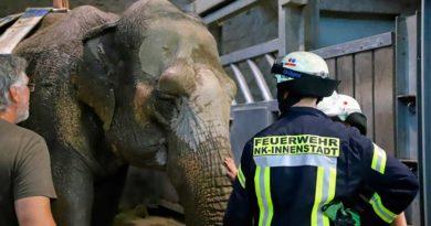 Fest liegende Elefantenkuh RANI im Neunkircher Zoo konnte zum zweiten Mal wieder aufgerichtet werden