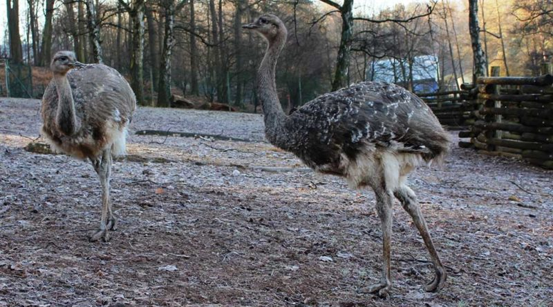 Darwin-Nandus als Neuankömmlinge im Neunkircher Zoo. (Foto: Neunkircher Zoo)