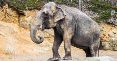 Asiatische Elefantenkuh KIRSTY im Neunkircher Zoo. (Foto: Bittner.photography)