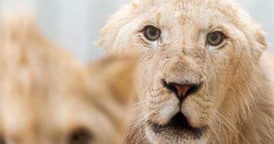 Zwei Löwenbrüder sind auf der Durchreise für wenige Monate im Neunkircher Zoo. (Foto: Bittner.photography)